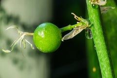 百合科植物果子 免版税库存图片