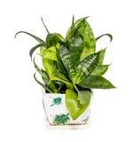 百合科植物 库存图片