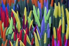 百合科植物cylindrica种植天鹅绒接触 免版税库存图片