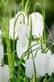 百合科的贝母植物 免版税图库摄影