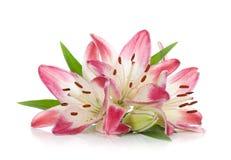 百合粉红色三 库存图片
