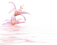 百合粉红色 库存照片