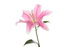 百合粉红色 库存图片