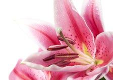 百合粉红色 免版税库存图片