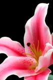 百合粉红色 免版税库存照片