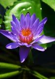 百合紫罗兰水 库存图片