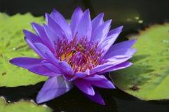 百合紫色水 免版税图库摄影