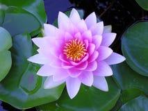 百合紫色水 免版税库存图片