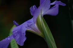 百合紫色 免版税库存照片