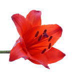 百合红色 免版税图库摄影