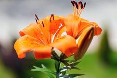 百合花和它的芽在开头前 库存图片