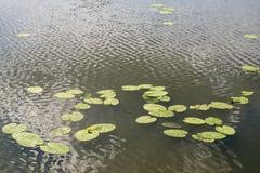 百合花在水中 免版税库存照片