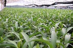 百合芽自温室在越南 库存图片