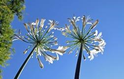 百合,尼罗爱情花花卉生长往天空 免版税库存照片