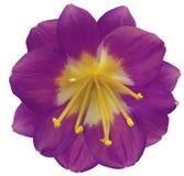 百合紫罗兰色花,隔绝与裁减路线,在白色背景 黄色雌蕊,雄芯花蕊 黄色中心 对设计 免版税库存照片