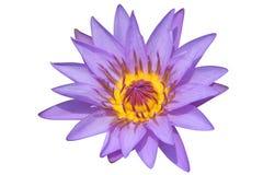 百合紫色水 图库摄影