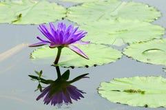 百合紫色水 库存图片