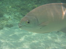 百慕大淡水鳔形鱼 库存照片