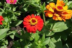 百日菊属两朵花在夏天 免版税库存照片