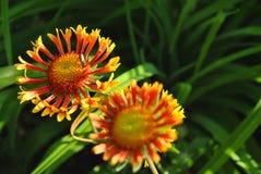 百日菊属双色的夫妇开花开花和狂放的蜂花粉一朵花 免版税库存图片