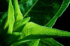 百日菊属叶子细节 免版税库存照片