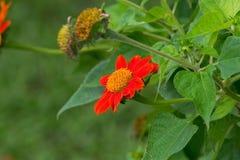 百日菊属在庭院里 免版税图库摄影