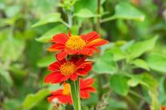 百日菊属在庭院里 图库摄影