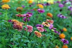 百日菊属在炫耀的草甸 免版税库存照片