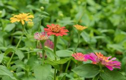 百日菊属小人国充满活力的五颜六色的庭院花 库存照片