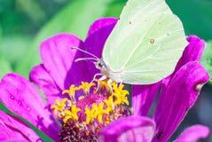 百日菊属有纹白蝶的花开花 免版税图库摄影