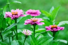 百日菊属桃红色花在花bed_的庭院里 免版税图库摄影