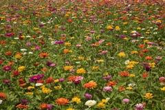 百日菊属的领域 免版税库存图片