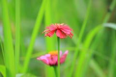 百日菊属红色花叶子,庭院宏指令 免版税库存照片
