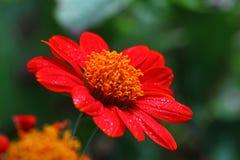 百日菊属红色花特写镜头 图库摄影