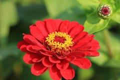 百日菊属花和芽 免版税图库摄影