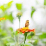 百日菊属花和蝴蝶 免版税库存图片