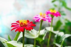 百日菊属花在庭院里 免版税库存照片