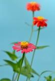 百日菊属花在庭院里 图库摄影