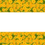 百日菊属花框架 免版税库存照片