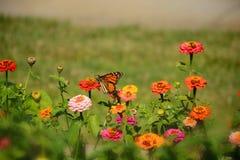 从百日菊属花的黑脉金斑蝶饮用的花蜜 库存照片