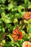 从百日菊属花的黑脉金斑蝶饮用的花蜜 免版税库存照片