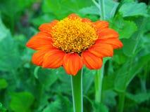 百日菊属花,对花粉的特写镜头 免版税图库摄影
