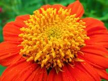 百日菊属花,对花粉的特写镜头 免版税库存图片