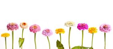 百日菊属连续 库存图片