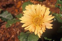 百日菊属细节在春天,坦帕, FL 图库摄影
