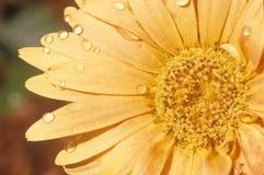 百日菊属细节在春天,坦帕, FL 免版税库存照片