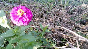 百日菊属 库存图片