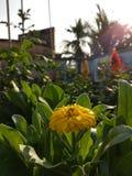 百日菊属angustifolia 库存照片