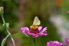 百日菊属elegans开花植物,在绽放的美丽的桃红色紫色花与老黄色蝴蝶 库存图片