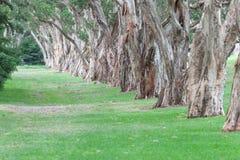 百年公园在悉尼,澳大利亚 厚实的常青茶树 免版税库存图片